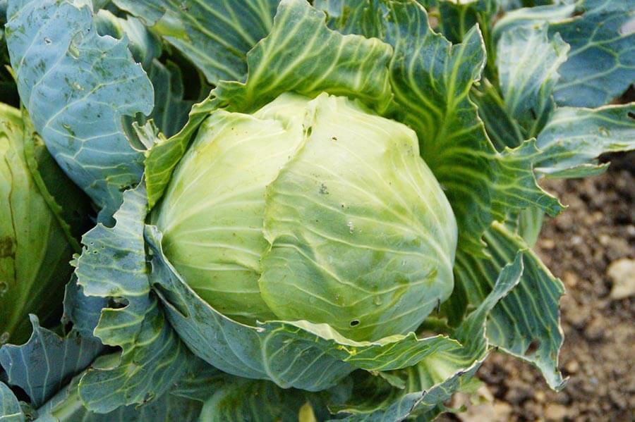 Salvestrolii din plante sunt citostatice naturale