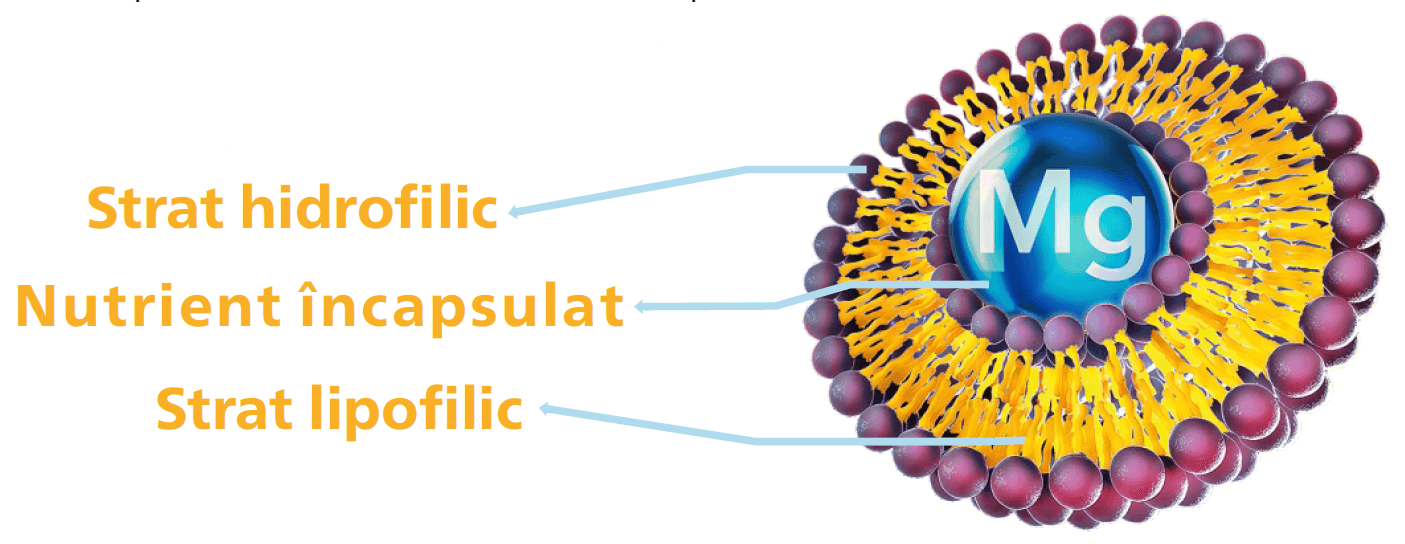 Lipozomal Magneziu structură